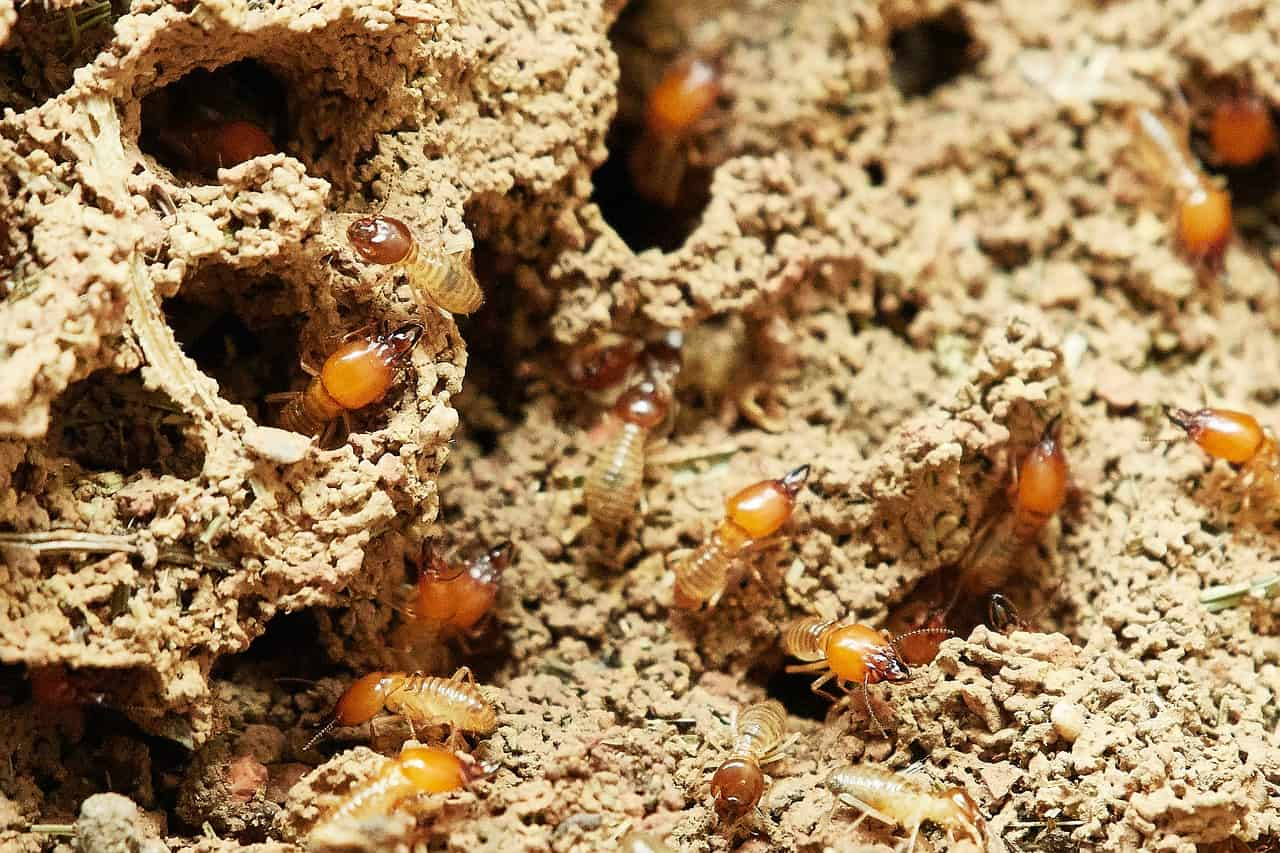 How To Get Rid Of Termites At Home Yourself